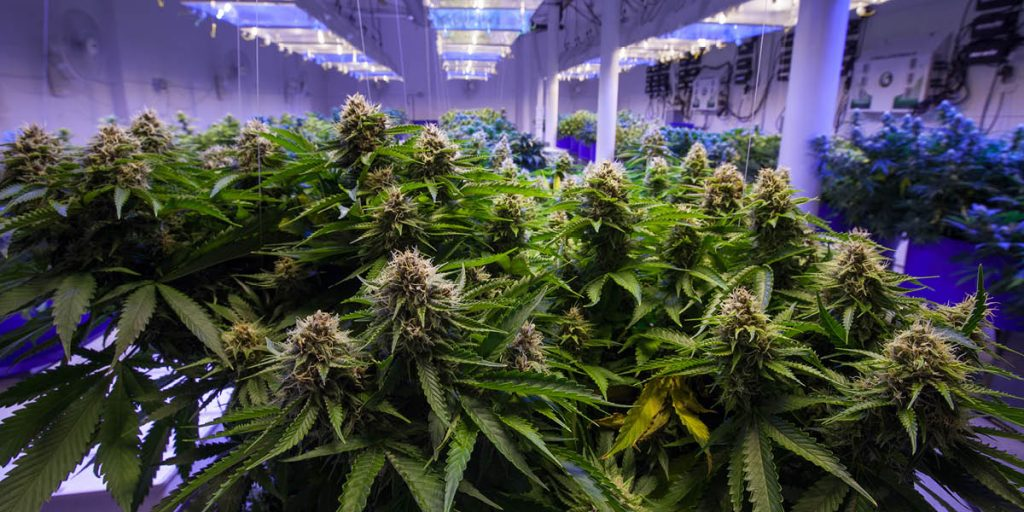 Picture of marijuana plants being grown in an indoor cannabis farm