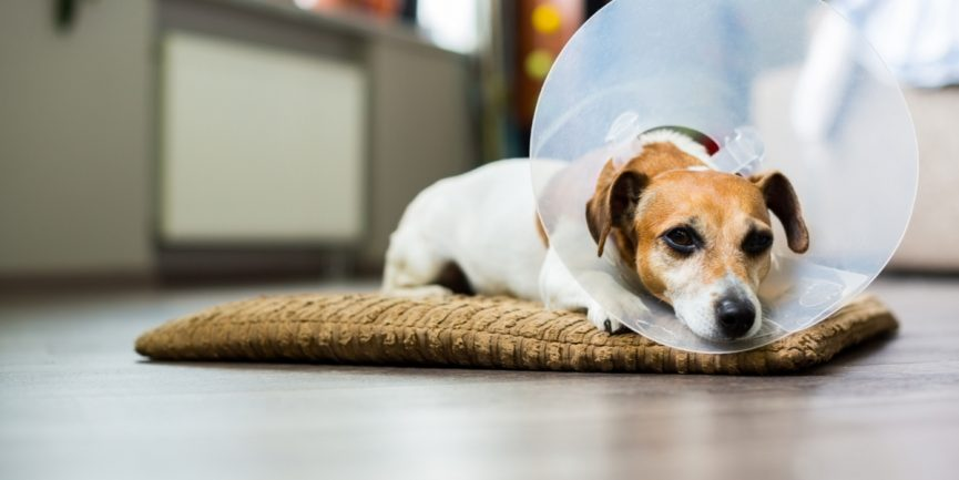 Small dog with a cone around his neck after receiving surgery